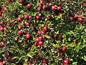 Картинки Яблоки На ветке Красные Листва