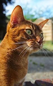 Обои Коты Рыжий Смотрит Усы Вибриссы