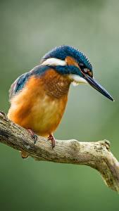 Обои Птицы Обыкновенный зимородок Размытый фон Ветвь Животные
