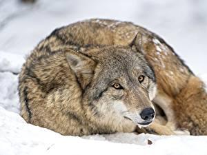 Фотография Волки Взгляд Лежа животное
