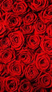 Фотография Текстура Розы Много Красный