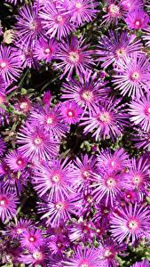 Фото Мезембриантемум Много Вблизи Розовый Цветы