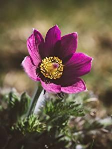 Картинки Прострел Вблизи Боке цветок