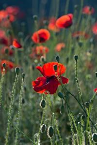 Картинка Маки Бутон Красных цветок