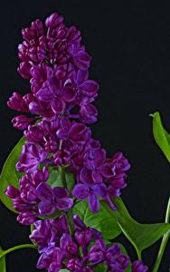 Фотографии Сирень Вблизи На черном фоне Цветы
