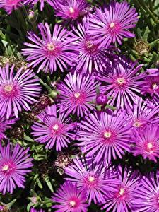 Картинки Много Розовые Delosperma Цветы