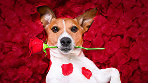 Картинки Собаки Розы Джек-рассел-терьер Красный Лепестков Смотрит Животные