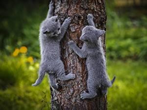 Обои Коты Котят Вдвоем Серая Ствол дерева Животные