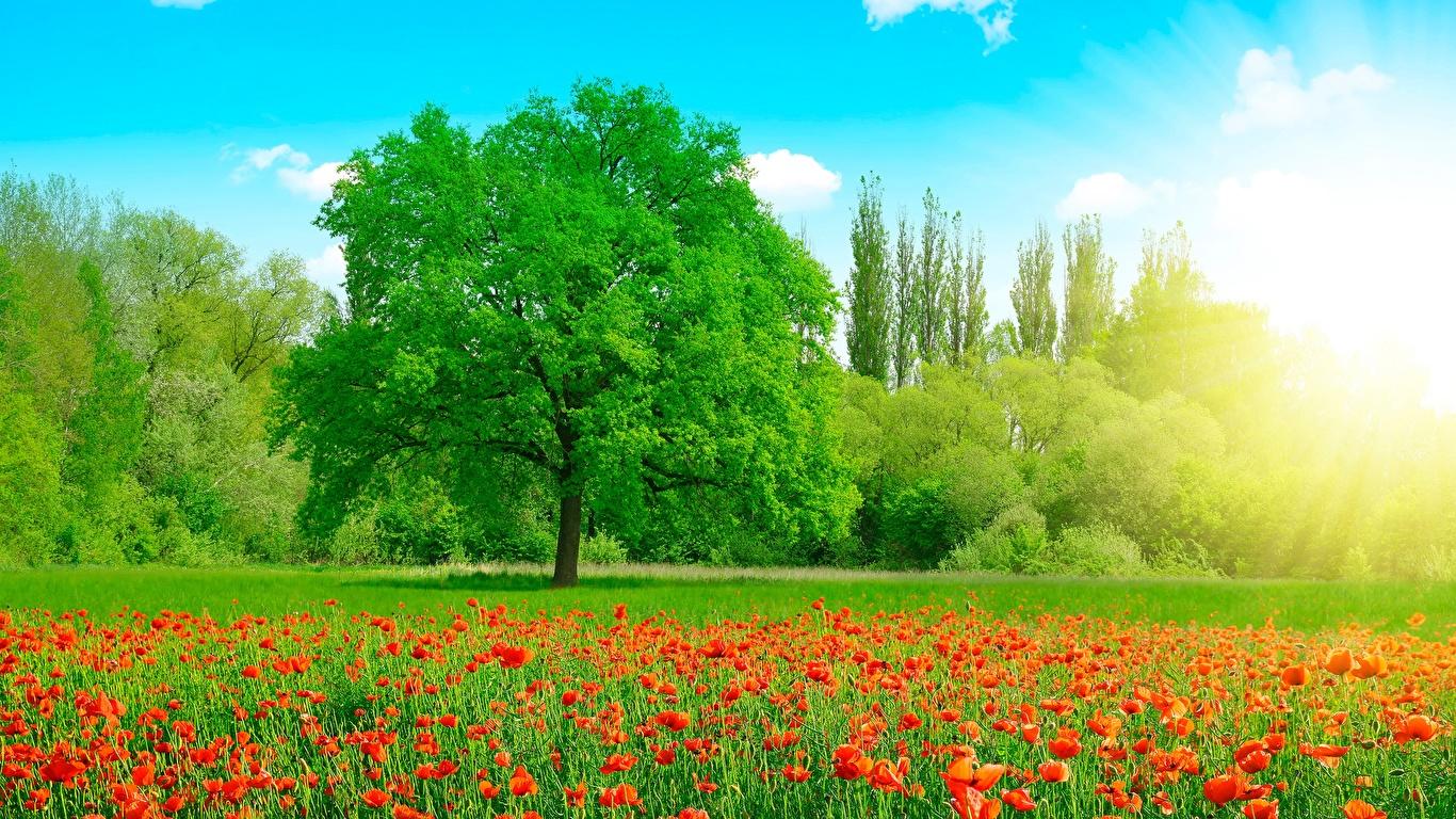 Картинка Лето Природа Луга Маки деревьев 1366x768 мак дерево дерева Деревья