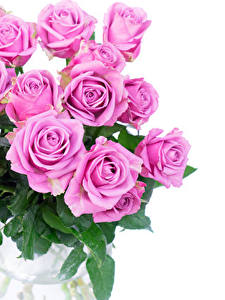 Фотография Розы Вблизи Белый фон Розовый цветок