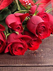 Фотографии Роза Крупным планом Доски Красные цветок