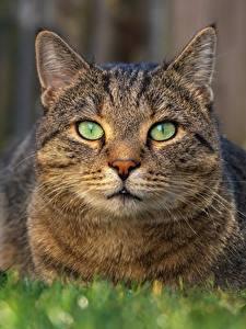 Обои Коты Смотрит Морда Животные