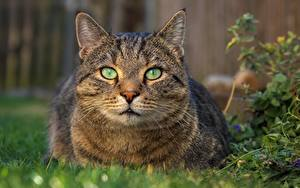 Обои Кот Смотрят Морды животное