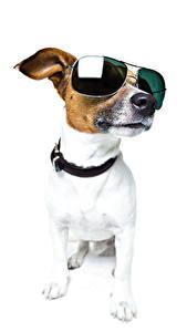 Фотография Собаки Белый фон Джек-рассел-терьер Очки Животные