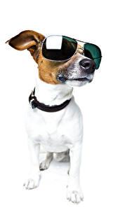 Фотография Собаки Белый фон Джек-рассел-терьер Очки
