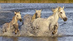 Фото Лошадь Втроем С брызгами Бегущая Белая Животные