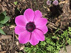 Обои Анемоны Вблизи Розовые Цветы