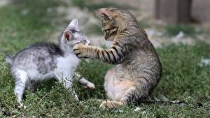 Обои Кот Трава 2 Котенка Лап Животные