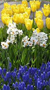 Фотографии Нидерланды Парки Тюльпаны Нарциссы Гиацинты Keukenhof Цветы