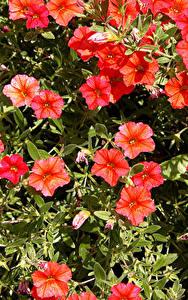 Картинка Калибрахоа Крупным планом Красный Цветы