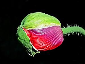 Фото Крупным планом Маки Черный фон Бутон Цветы