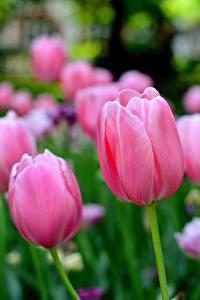 Фотография Тюльпаны Боке Розовые цветок
