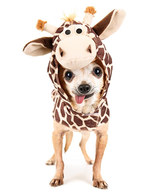 Картинка Чихуахуа собака Кенгуру Одежда униформе Животные белом фоне 600x800 для мобильного телефона Собаки Униформа животное Белый фон белым фоном