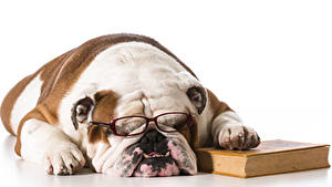 Фото Собаки Бульдог Спят Книга Очках Морда Белом фоне Животные