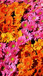 Фото Гербера Много Текстура Разноцветные Цветы