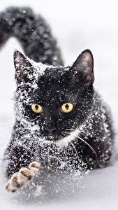 Фотографии Коты Снег Черный Лапы Животные