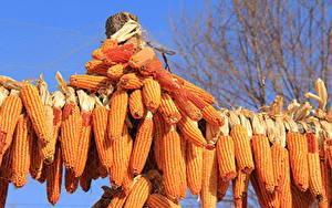 Фотография Кукуруза Много Пища