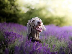 Фотографии Собака Лаванда Языком Головы Веймарская легавая животное