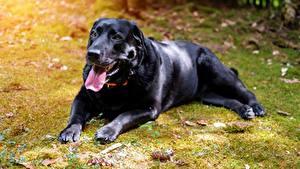 Фото Собаки Черный Язык (анатомия) Смотрит Лапы Ретривер Labrador
