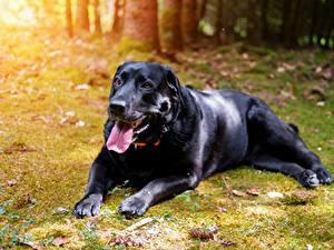 Фото Собаки Черный Язык (анатомия) Смотрит Лапы Ретривер Labrador Животные
