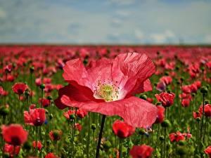Обои Луга Маки Много Красные Размытый фон цветок