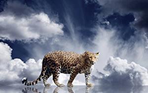 Фотографии Большие кошки Леопарды Смотрит Животные