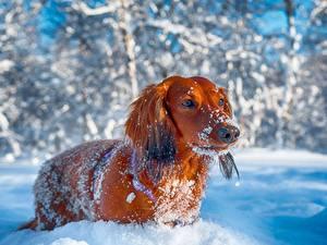 Фото Собаки Зимние Такса Смотрит Снег