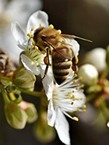 Обои Вблизи Пчелы Насекомое Размытый фон Животные