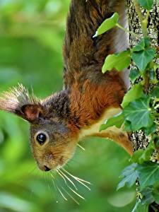 Фотографии Белки Ствол дерева Смотрит Усы Вибриссы Животные