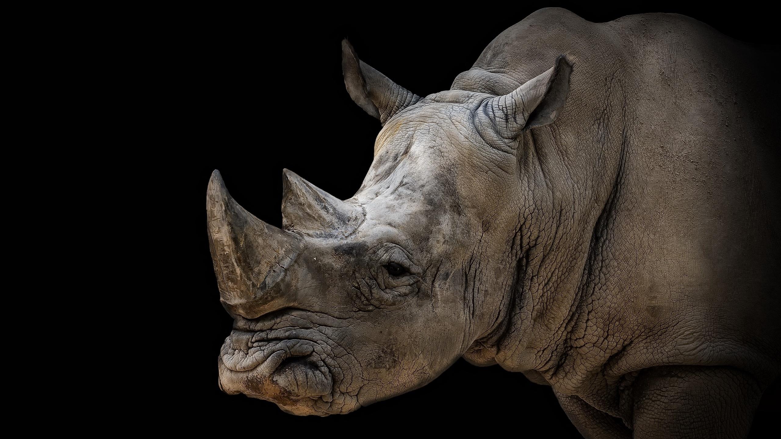 Обои носороги. Животные foto 19