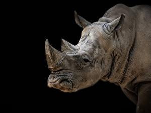 Картинка Носороги Черный фон Голова Животные