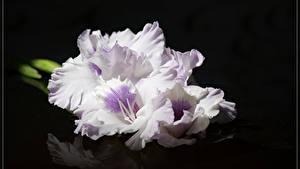 Обои Гладиолус Крупным планом На черном фоне Белых цветок