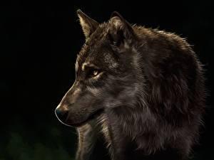 Обои Волк Рисованные Голова На черном фоне Животные