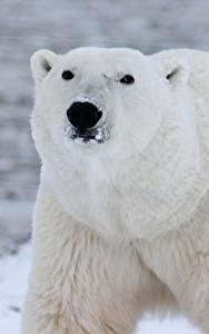 Фото Вблизи Медведи Полярный Морда Смотрит Животные