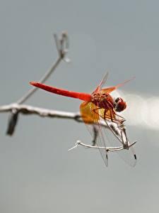 Фотография Насекомые Стрекозы Крупным планом животное
