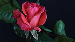 Фотографии Роза Вблизи Черный фон Красный Цветы