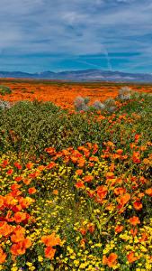 Фотографии США Поля Маки Маргаритка Lancaster Природа