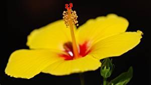 Фото Гибискусы Крупным планом На черном фоне Желтая цветок