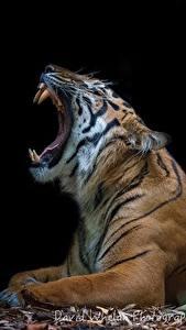 Обои Тигры Клыки Черный фон Рычит Животные