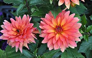 Картинки Георгины Крупным планом Двое Розовые Цветы